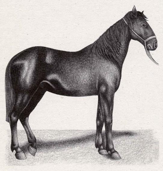 cavallo-maremmano-toscano-all-collacchioni