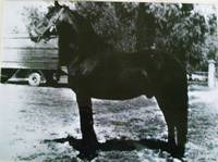 Lanciotto, nato nel 1960 da Egeo II e Daina - linea Aiace