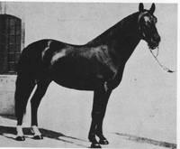 Beccaccino, nato nel 1953 da Silvano e Squilla - linea Otello